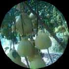沙田柚5哥